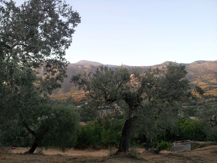 Ulivi in Cilento